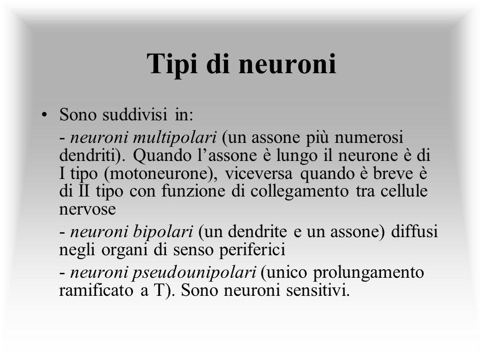 Tipi di neuroni Sono suddivisi in: