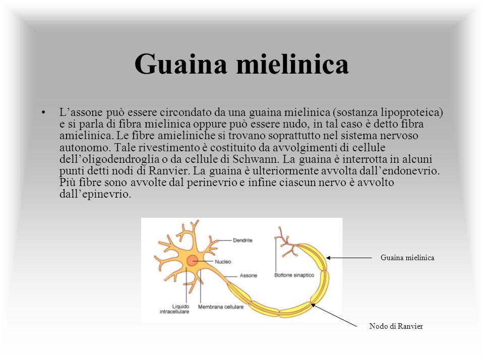Guaina mielinica