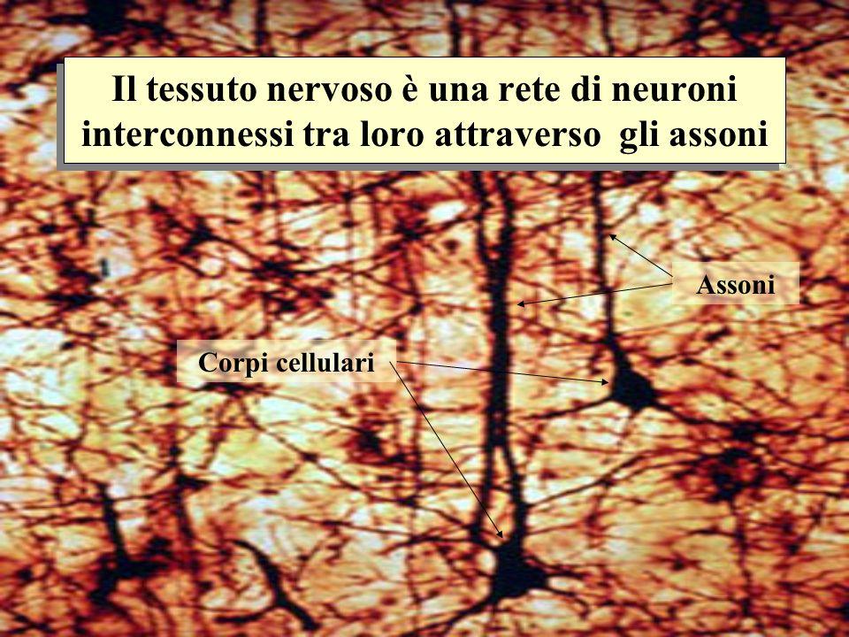 Il tessuto nervoso è una rete di neuroni interconnessi tra loro attraverso gli assoni