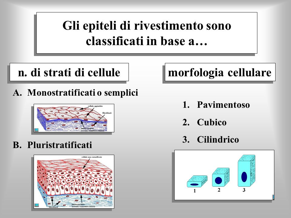 Gli epiteli di rivestimento sono classificati in base a…