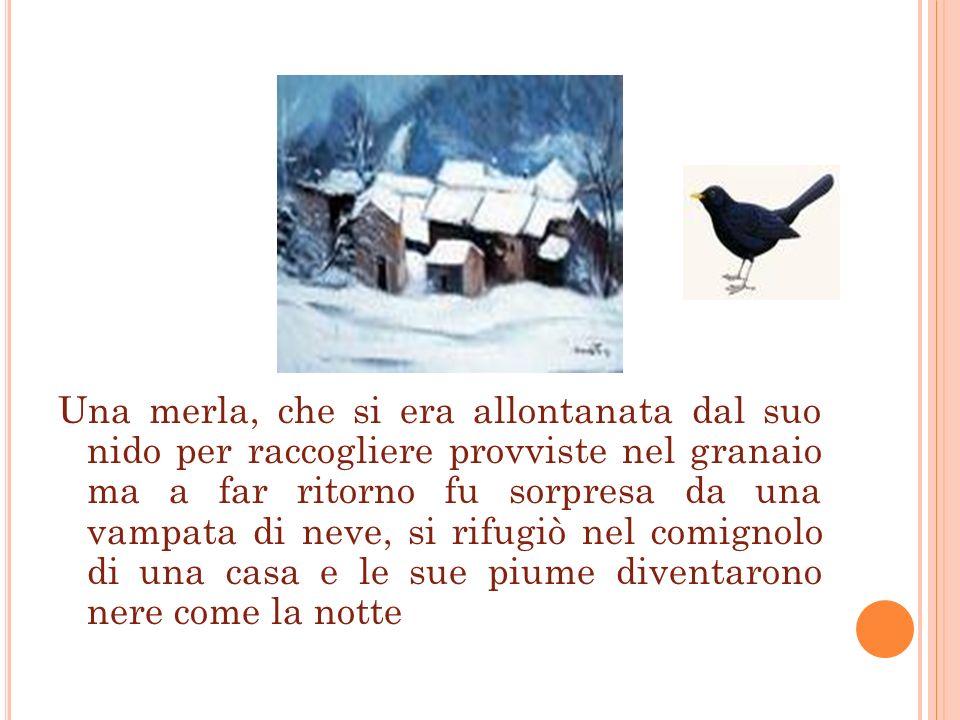 Una merla, che si era allontanata dal suo nido per raccogliere provviste nel granaio ma a far ritorno fu sorpresa da una vampata di neve, si rifugiò nel comignolo di una casa e le sue piume diventarono nere come la notte