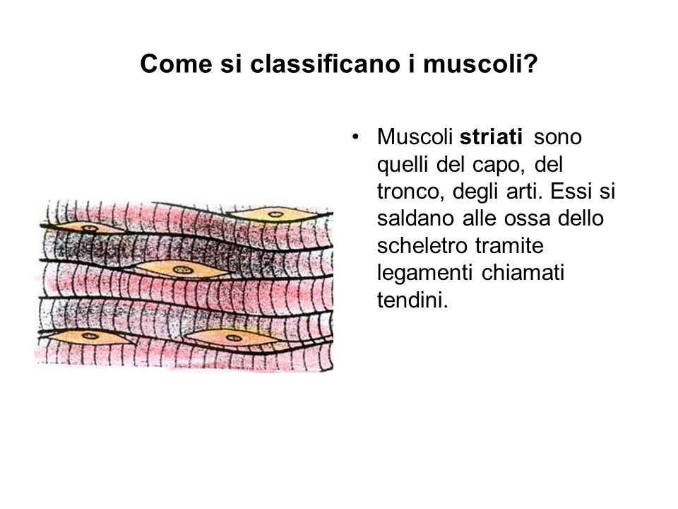 Come si classificano i muscoli
