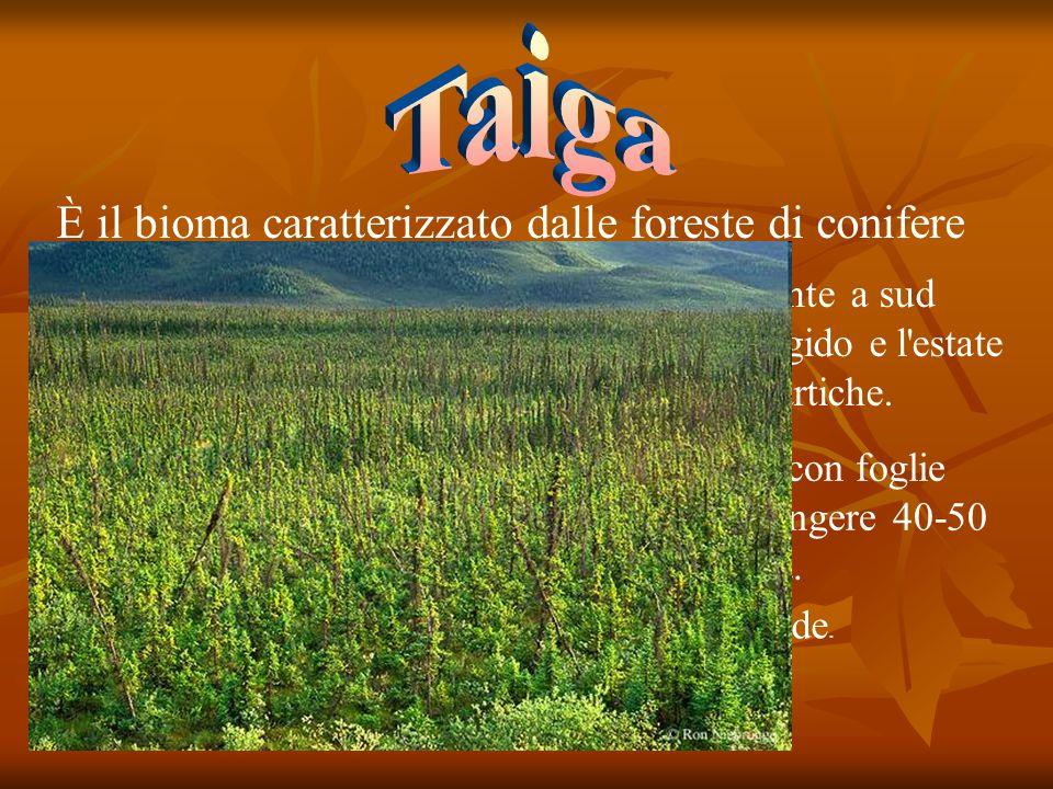 Taiga È il bioma caratterizzato dalle foreste di conifere