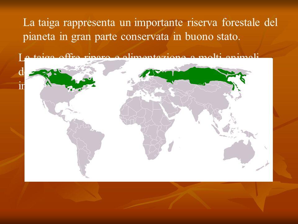 La taiga rappresenta un importante riserva forestale del pianeta in gran parte conservata in buono stato.