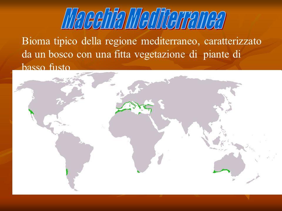 Macchia Mediterranea Bioma tipico della regione mediterraneo, caratterizzato da un bosco con una fitta vegetazione di piante di basso fusto.