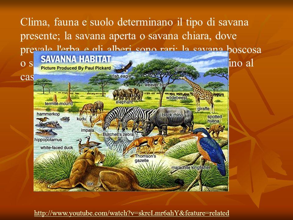 Clima, fauna e suolo determinano il tipo di savana presente; la savana aperta o savana chiara, dove prevale l erba e gli alberi sono rari; la savana boscosa o savana scura, dove gli alberi sono più fitti, fino al caso estremo della foresta aperta