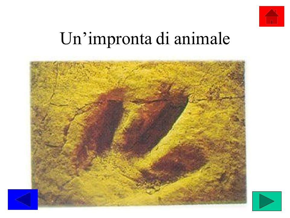 Un'impronta di animale