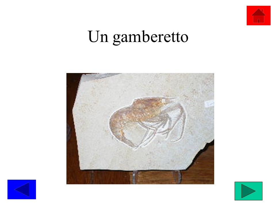 Un gamberetto