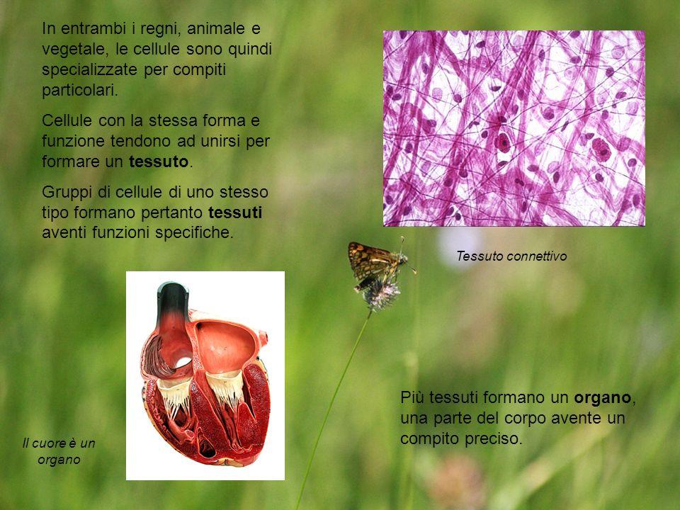 In entrambi i regni, animale e vegetale, le cellule sono quindi specializzate per compiti particolari.