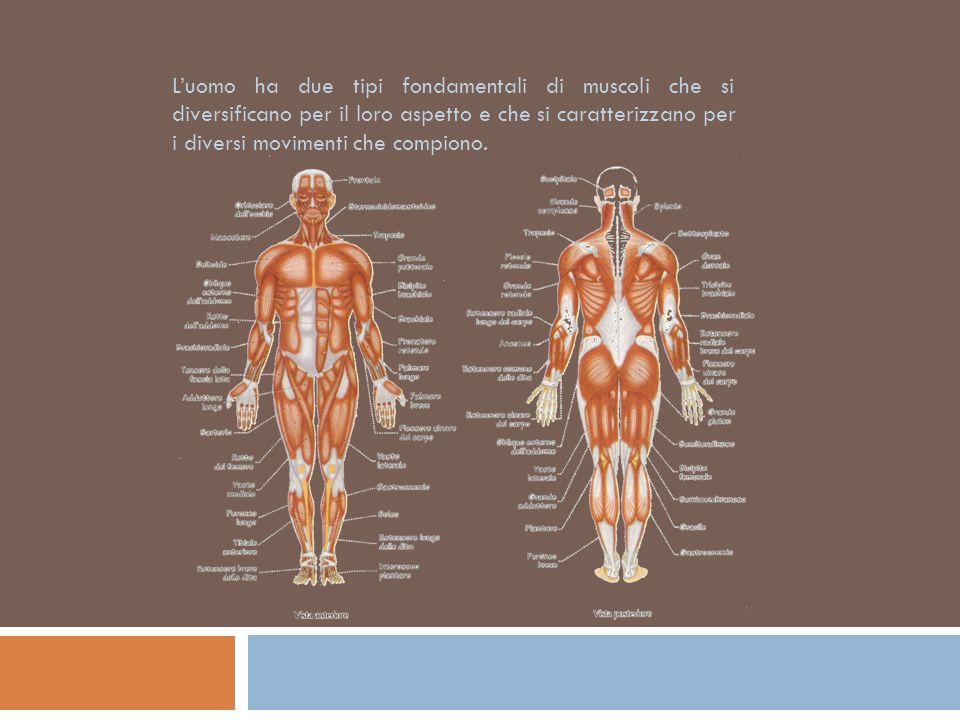 L'uomo ha due tipi fondamentali di muscoli che si diversificano per il loro aspetto e che si caratterizzano per i diversi movimenti che compiono.
