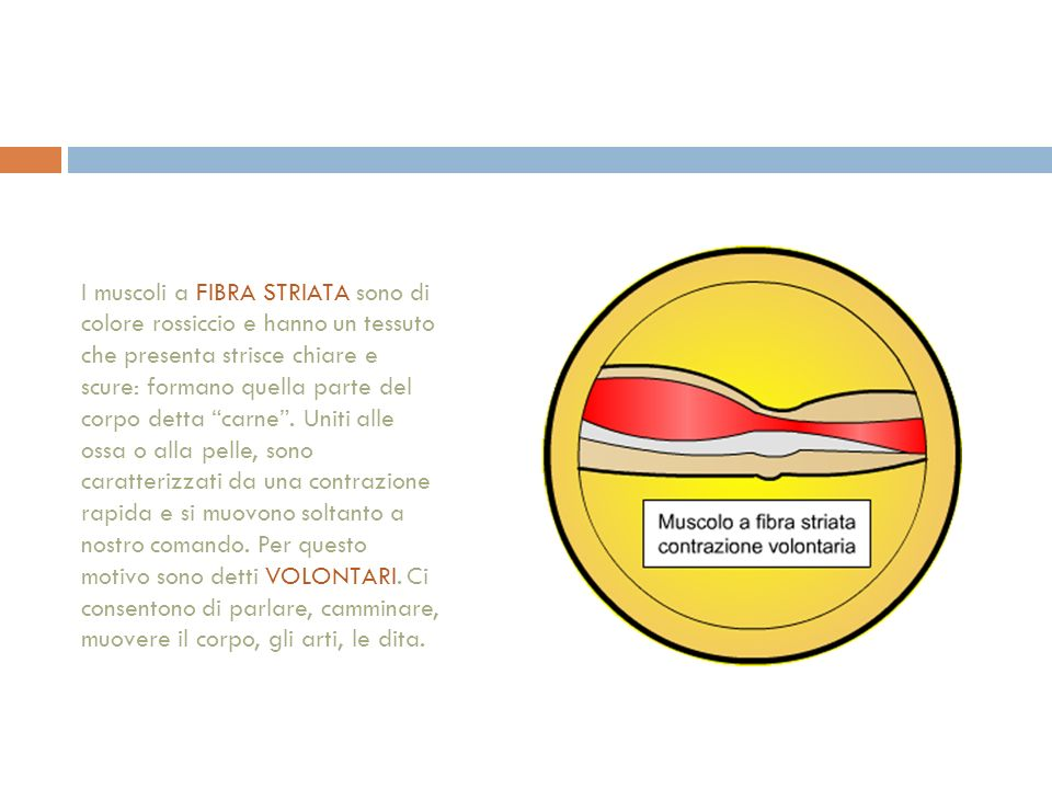 I muscoli a FIBRA STRIATA sono di colore rossiccio e hanno un tessuto che presenta strisce chiare e scure: formano quella parte del corpo detta carne .