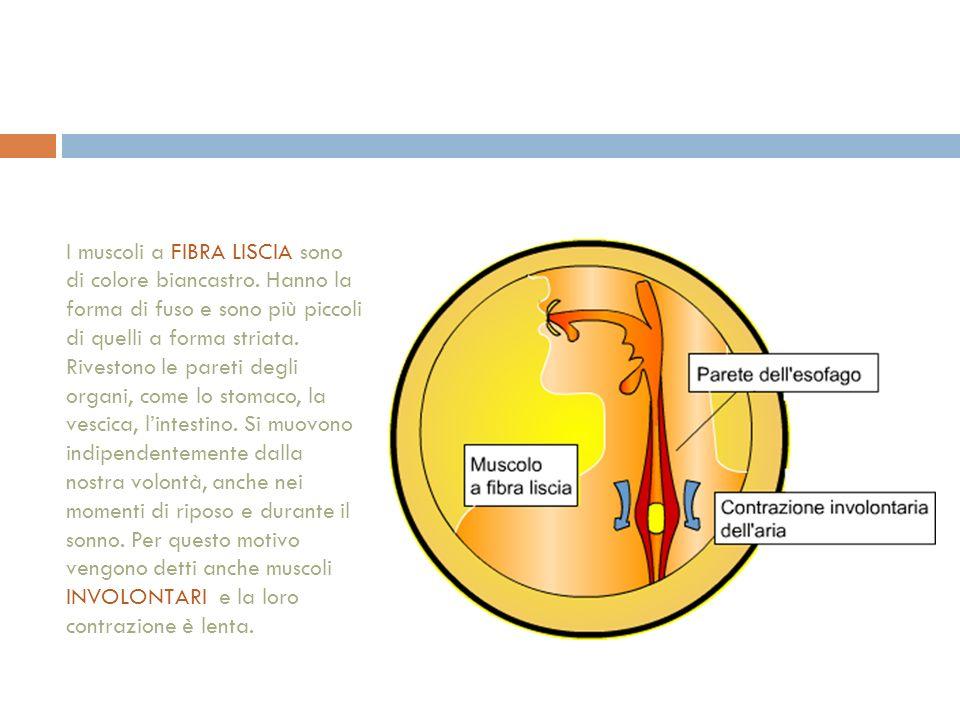 I muscoli a FIBRA LISCIA sono di colore biancastro