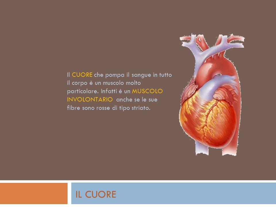 Il CUORE che pompa il sangue in tutto il corpo è un muscolo molto particolare. Infatti è un MUSCOLO INVOLONTARIO anche se le sue fibre sono rosse di tipo striato.