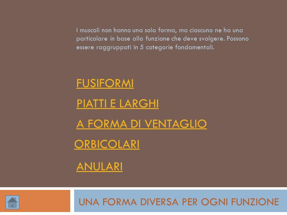 FUSIFORMI PIATTI E LARGHI A FORMA DI VENTAGLIO ORBICOLARI ANULARI