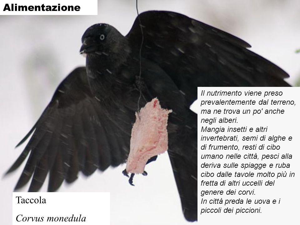 Alimentazione Taccola Corvus monedula