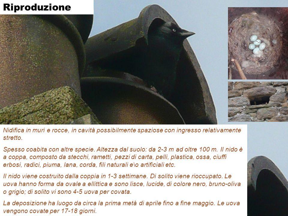 Riproduzione Nidifica in muri e rocce, in cavità possibilmente spaziose con ingresso relativamente stretto.