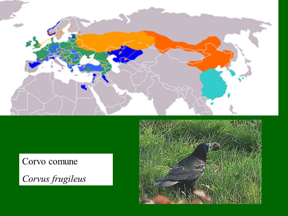 Corvo comune Corvus frugileus
