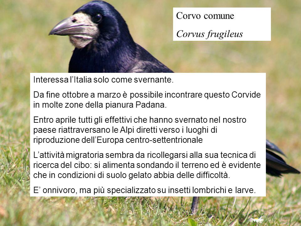 Corvo comune Corvus frugileus Interessa l'Italia solo come svernante.