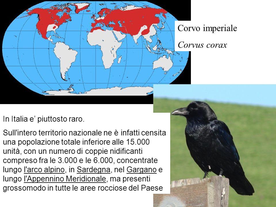 Corvo imperiale Corvus corax In Italia e' piuttosto raro.