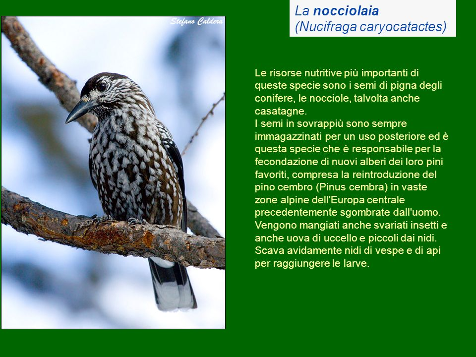 (Nucifraga caryocatactes)