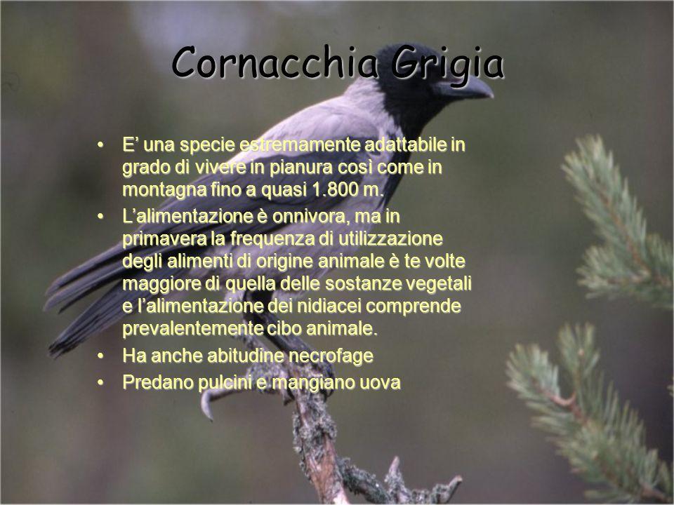 Cornacchia Grigia E' una specie estremamente adattabile in grado di vivere in pianura così come in montagna fino a quasi 1.800 m.