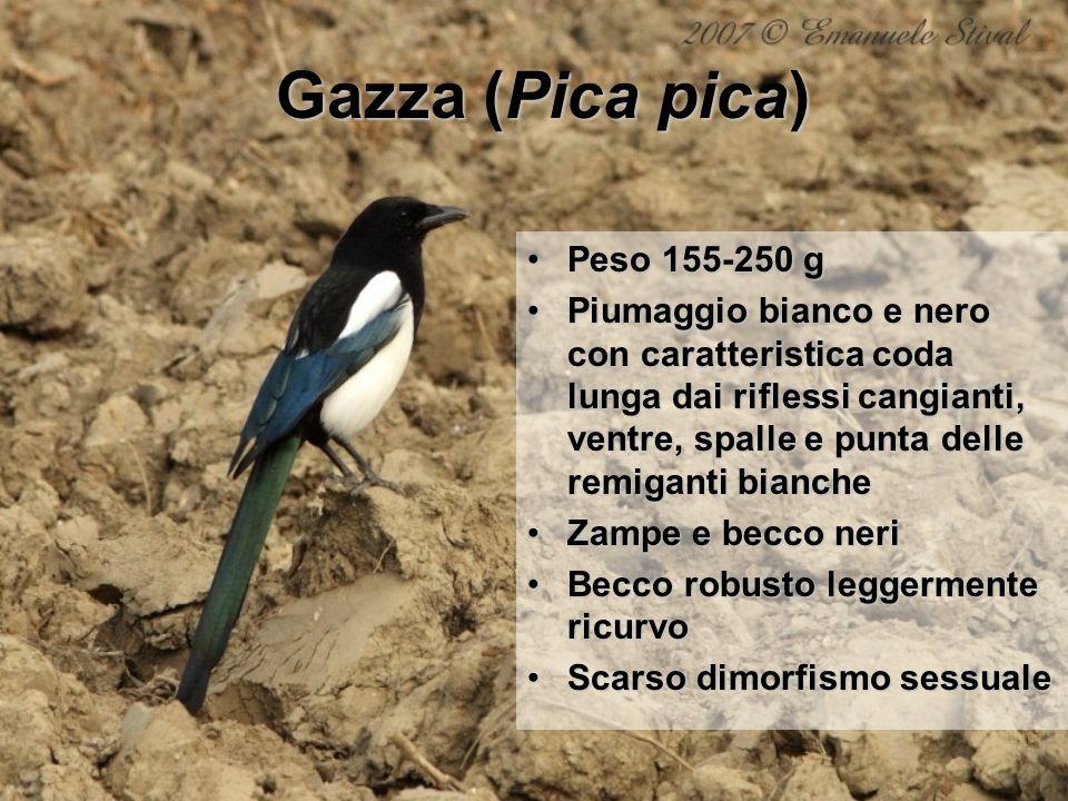 Gazza (Pica pica) Peso 155-250 g