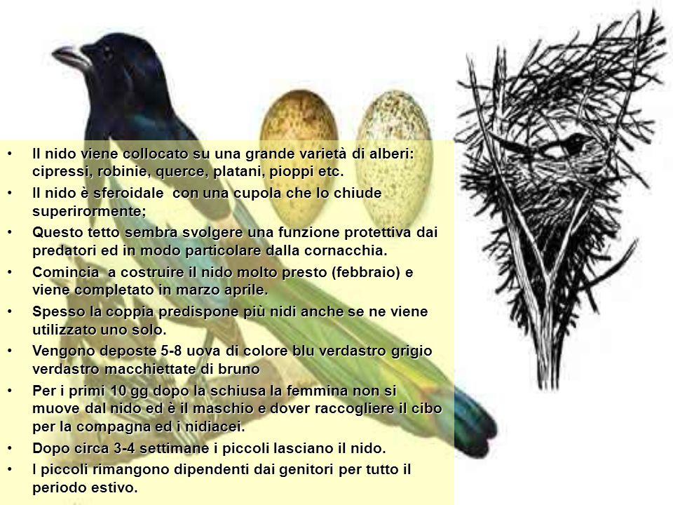 Il nido viene collocato su una grande varietà di alberi: cipressi, robinie, querce, platani, pioppi etc.