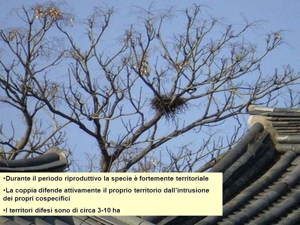 Durante il periodo riproduttivo la specie è fortemente territoriale