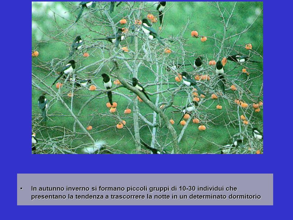 In autunno inverno si formano piccoli gruppi di 10-30 individui che presentano la tendenza a trascorrere la notte in un determinato dormitorio