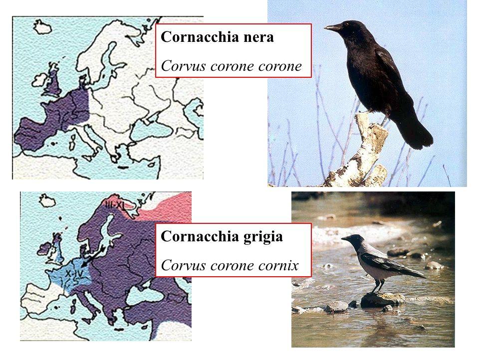 Cornacchia nera Corvus corone corone Cornacchia grigia Corvus corone cornix