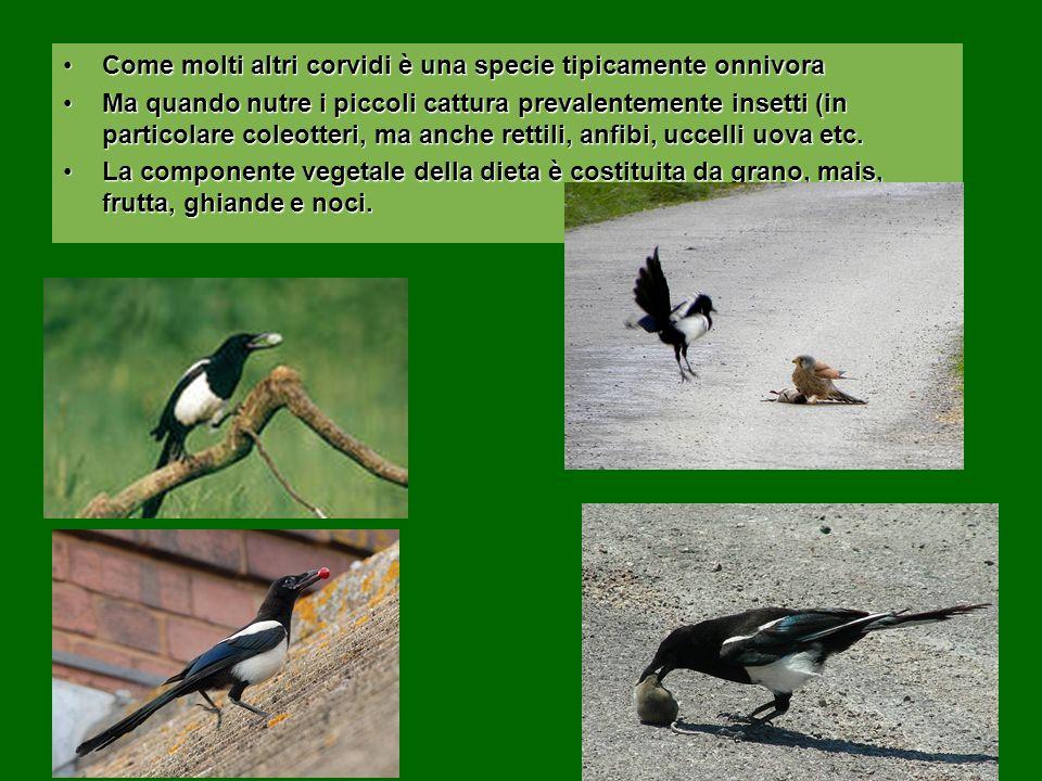 Come molti altri corvidi è una specie tipicamente onnivora