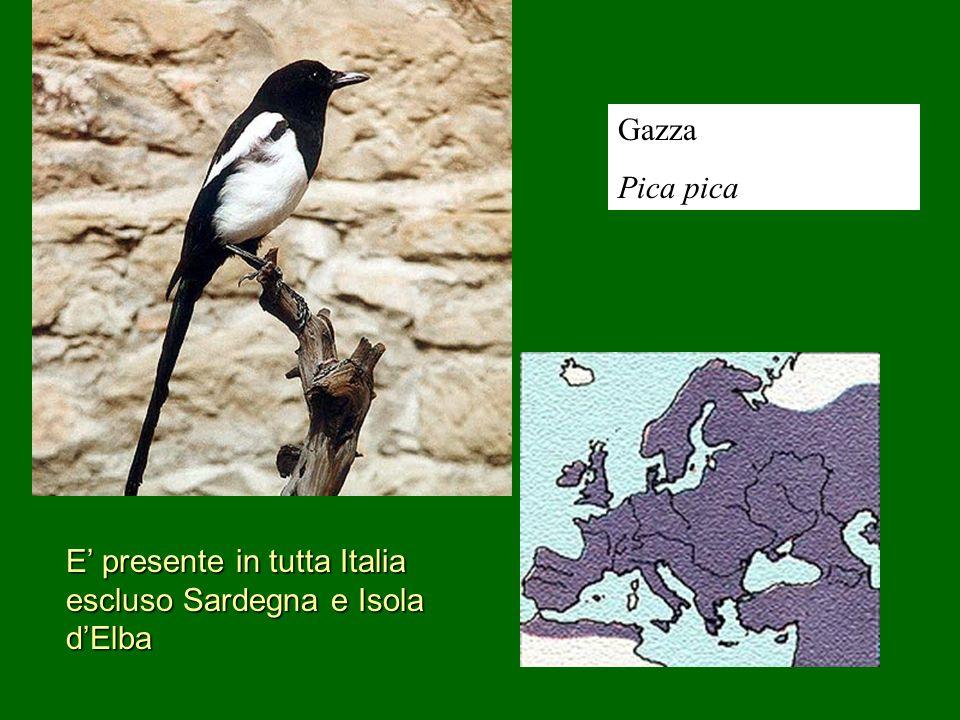 Gazza Pica pica E' presente in tutta Italia escluso Sardegna e Isola d'Elba