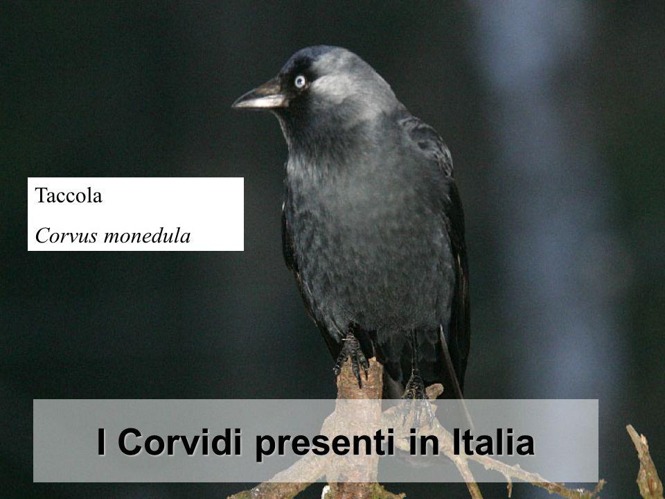 I Corvidi presenti in Italia