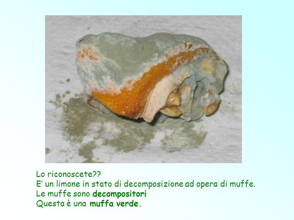 Lo riconoscete E' un limone in stato di decomposizione ad opera di muffe. Le muffe sono decompositori.