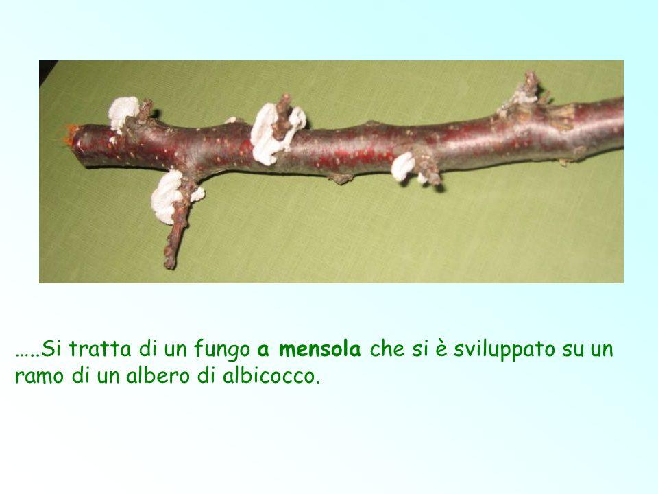 …..Si tratta di un fungo a mensola che si è sviluppato su un