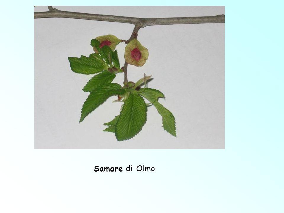 Samare di Olmo