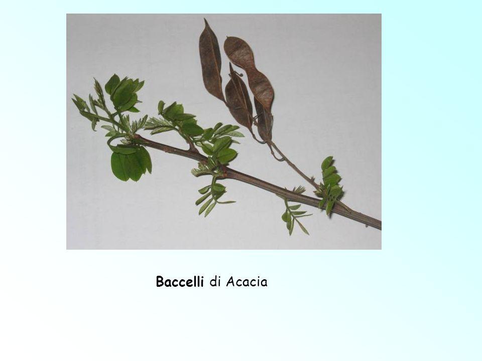 Baccelli di Acacia