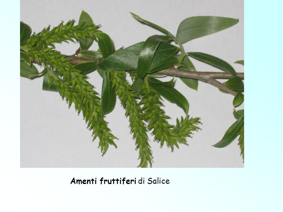 Amenti fruttiferi di Salice