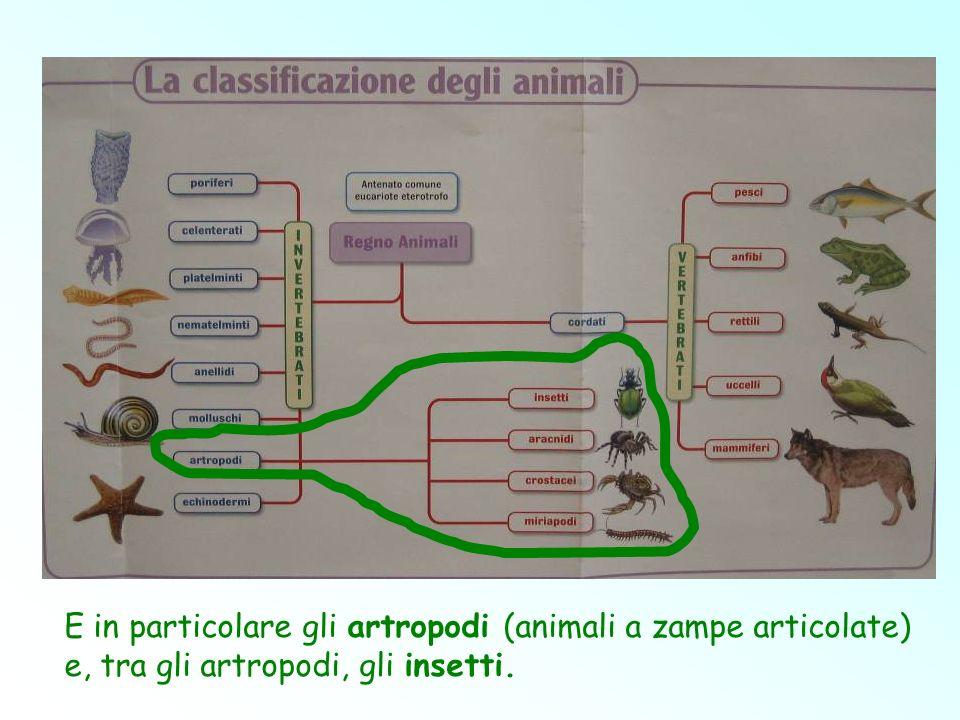 E in particolare gli artropodi (animali a zampe articolate)