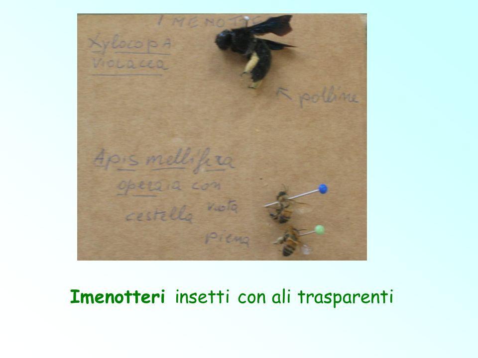 Imenotteri insetti con ali trasparenti