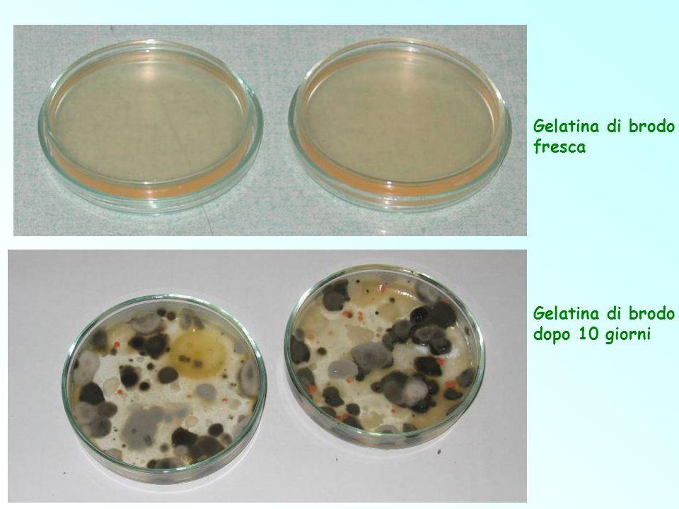 Gelatina di brodo fresca Gelatina di brodo dopo 10 giorni