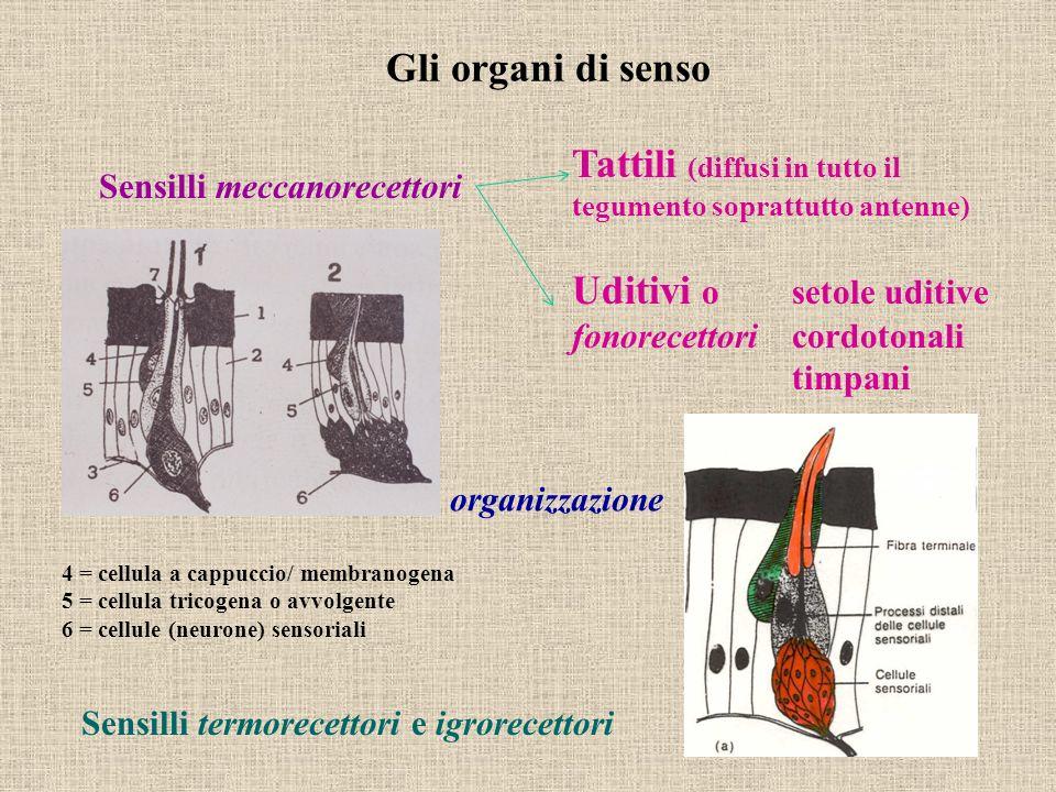 Tattili (diffusi in tutto il tegumento soprattutto antenne)