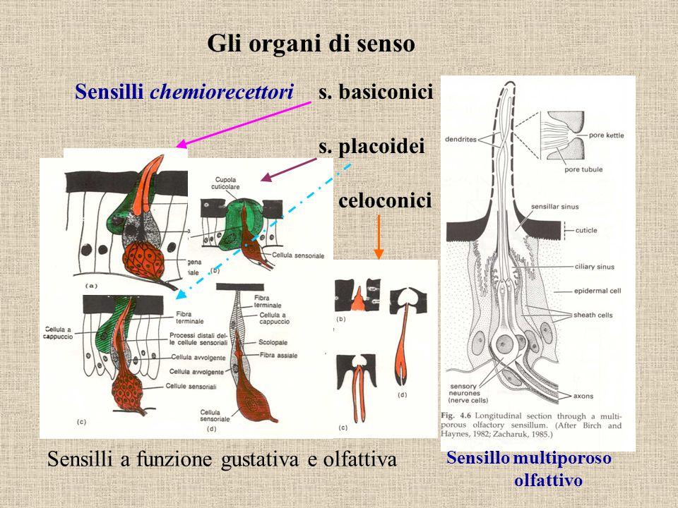 Gli organi di senso Sensilli chemiorecettori s. basiconici