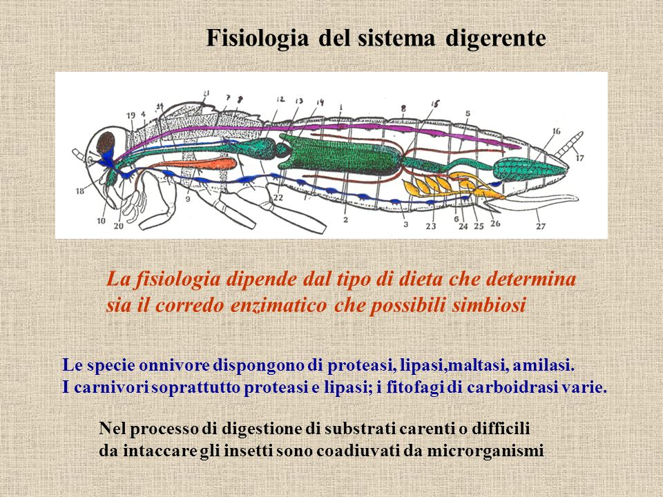 Fisiologia del sistema digerente