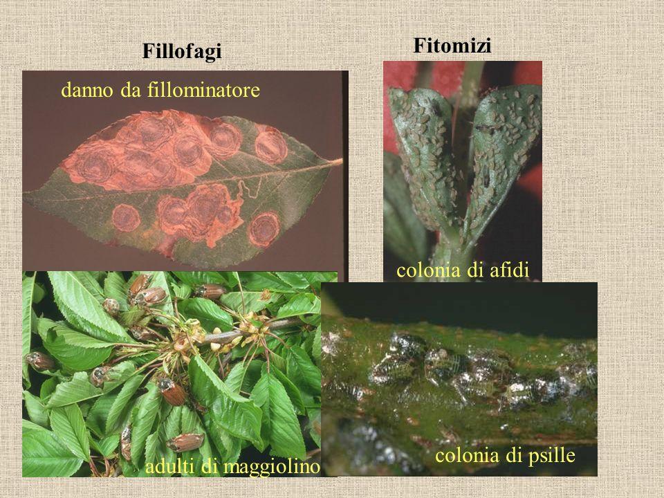 Fitomizi Fillofagi danno da fillominatore colonia di afidi colonia di psille adulti di maggiolino