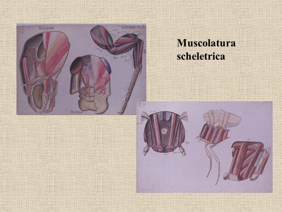 Muscolatura scheletrica
