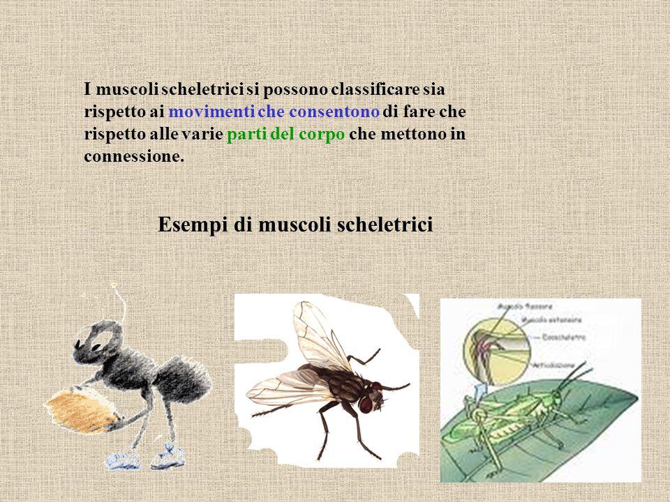 Esempi di muscoli scheletrici