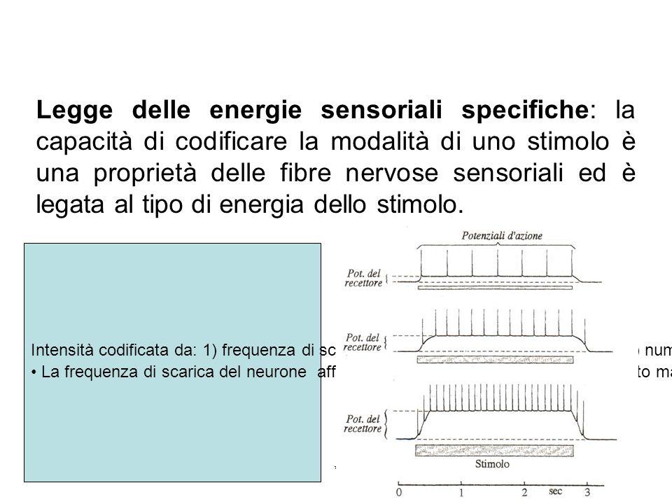 Legge delle energie sensoriali specifiche: la capacità di codificare la modalità di uno stimolo è una proprietà delle fibre nervose sensoriali ed è legata al tipo di energia dello stimolo.