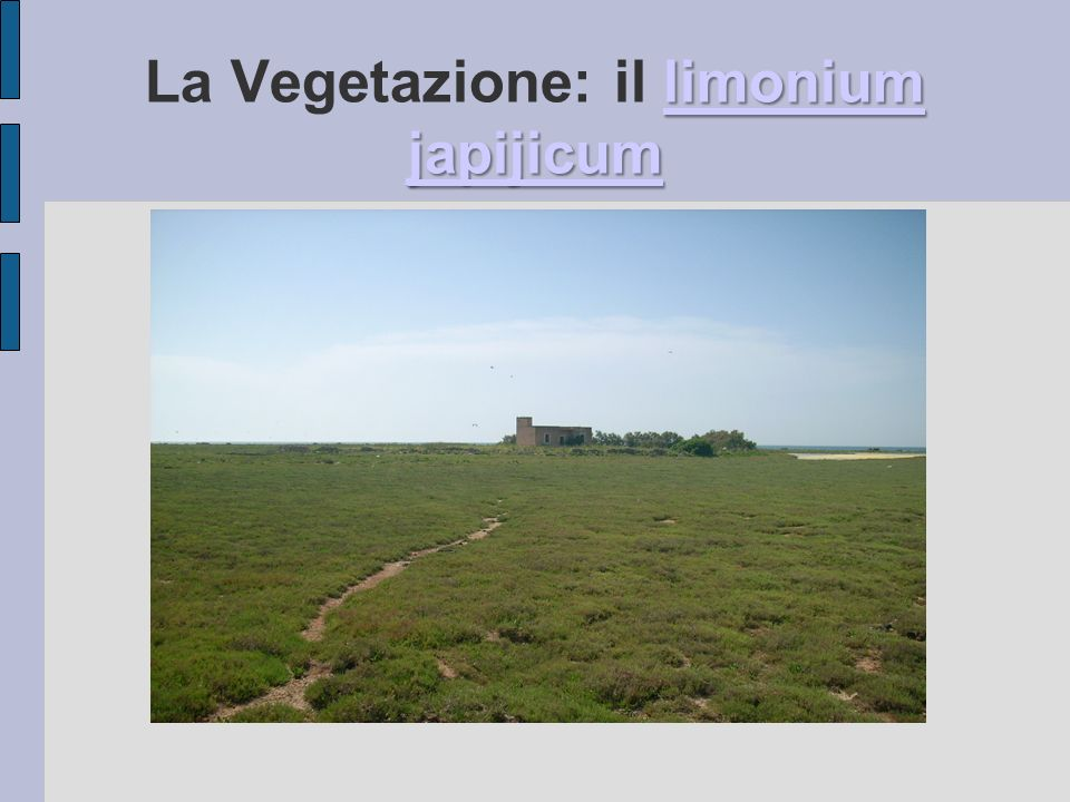La Vegetazione: il limonium japijicum
