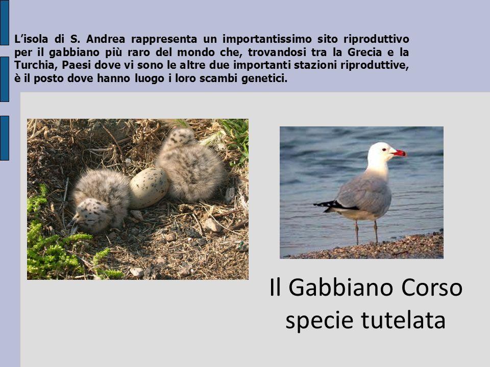 Il Gabbiano Corso specie tutelata